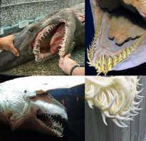 Акула гоблин фото