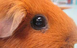 У морской свинки закисают глаза