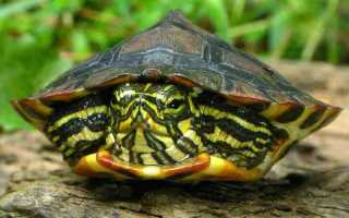 Акватеррариум для красноухой черепахи своими руками