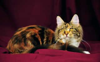 Окрас черепашка у кошек