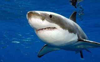 Описание акулы по плану 1 класс