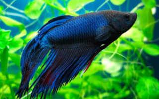 Рыбка петушок причины смерти