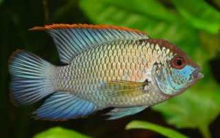 Рыбка акара фото