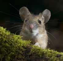 Мышь обыкновенная фото