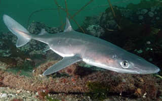 Катран акула черного моря фото
