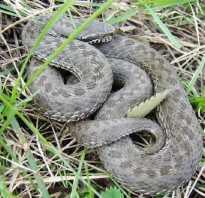 Когда змеи собираются в клубки