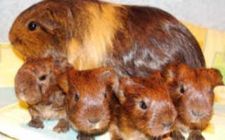 Через сколько рожают морские свинки