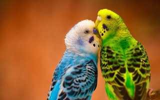 Попугай как отличить самца от самки