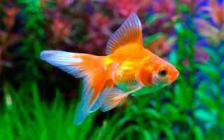 Размеры аквариумных золотых рыбок