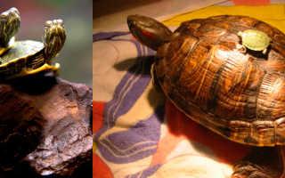 Черепаха красноухая сколько живет