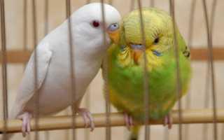Имена для волнистых попугайчиков