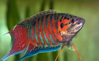 Рыба макропод аквариумная