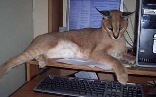 Как называются коты похожие на рысь