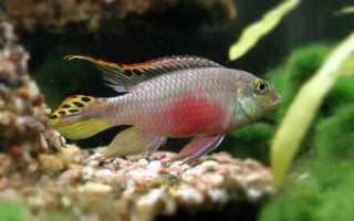 Аквариумная рыба пульхер