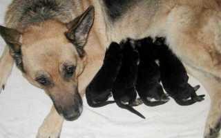 Лекарство от мастита у собак
