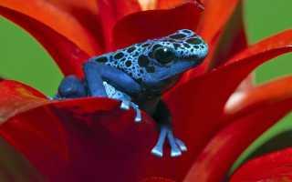 Синяя лягушка название