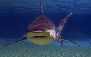 Бычья акула нападение