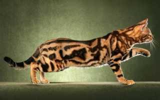 Окрас бенгалов кошек фото и описание
