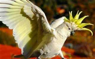 Попугай какаду разговаривает