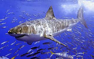 Особенности внешнего строения акулы