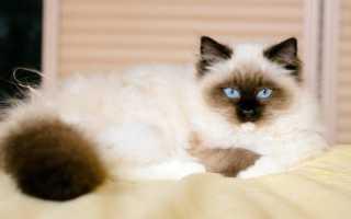 Порода большого кота