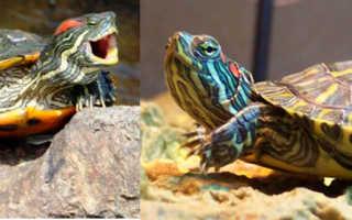 Почему красноухая черепаха не ест