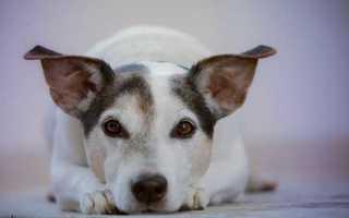 Что давать собаке после операции обезболивающее