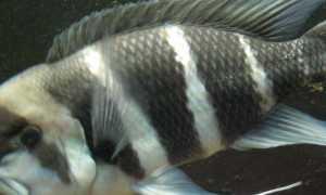 Фронтоза совместимость с другими рыбами