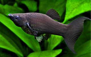 Молли аквариумная рыбка
