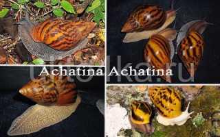 Виды улиток ахатин с фото