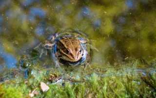 Сообщение о жабе