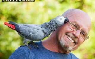Серый говорящий попугай