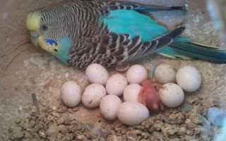 Через сколько дней попугаи откладывают яйца