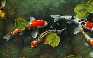 Карпы кои и золотые рыбки