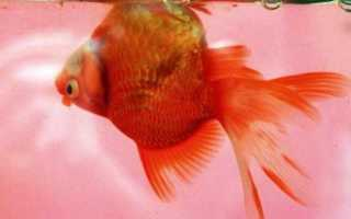 У золотой рыбки облезает чешуя