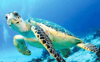 Черепахи атлантики фото