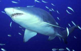 Средний вес акулы