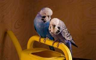 Чем отличаются чехи от волнистых попугаев