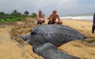 Большая черепаха фото