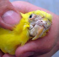 Трахейный клещ у волнистого попугая