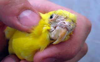 Клещ у волнистого попугая фото
