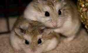 Можно ли хомяков держать вместе