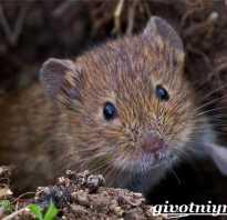 Полевая мышь это животное