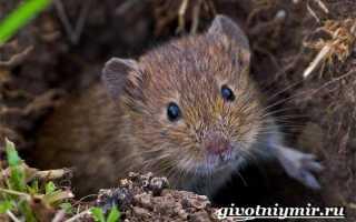 Рассказ про полевую мышь