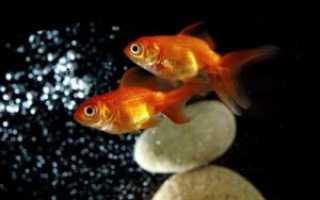 Аквариумные золотые рыбки видео