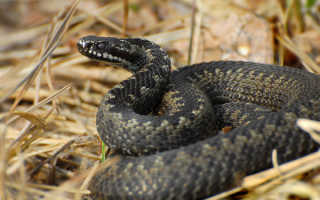 Ядовитые змеи подмосковья фото и описание