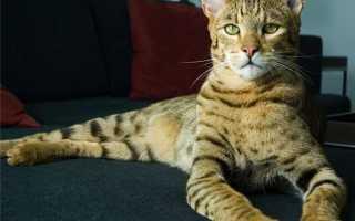 Кошка похожая на гепарда