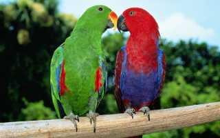 Благородный попугай цена