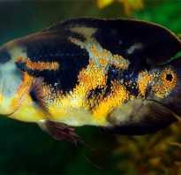 Астронотус рыба аквариумная