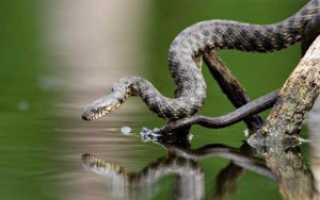 Змеи плавающие под водой